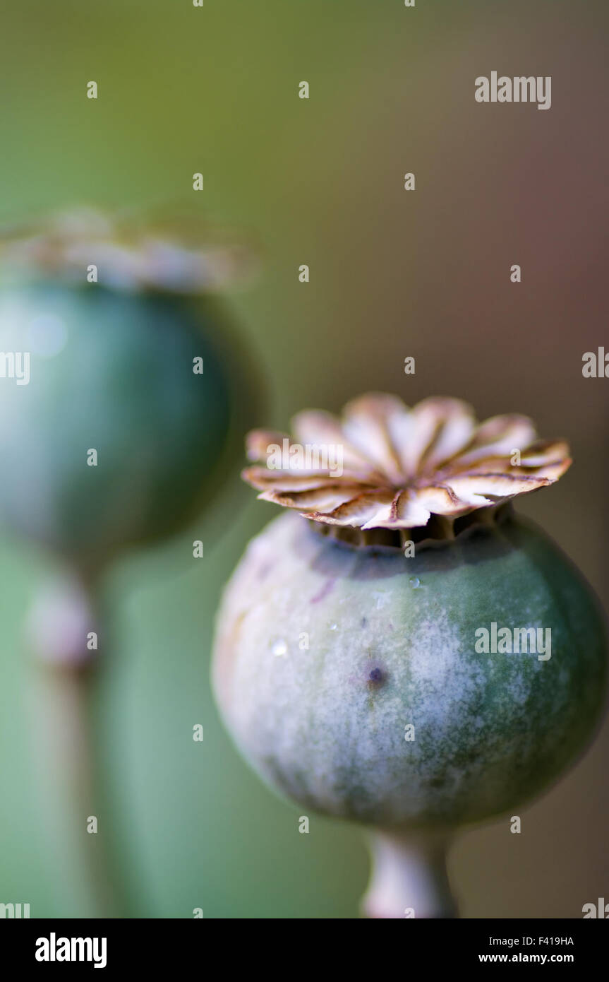 Poppy seed capsule - Stock Image