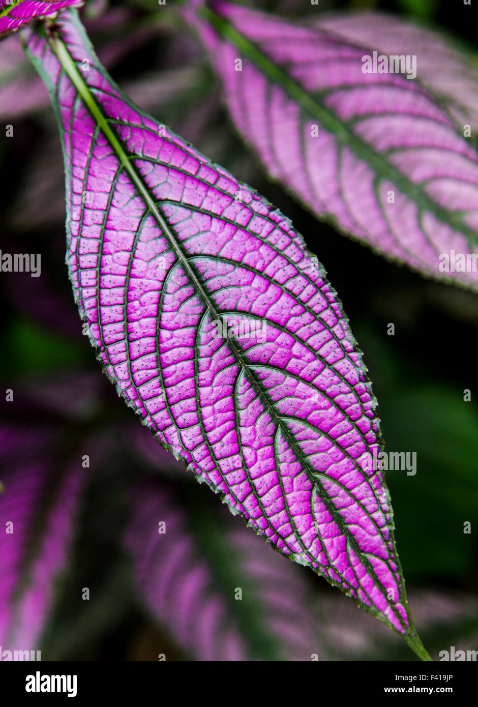 Persian Shield; Strobilanthes Dyeranus; Acanthaceae; Hawai'i Tropical Botanical Garden Nature Preserve; Big Island, Stock Photo