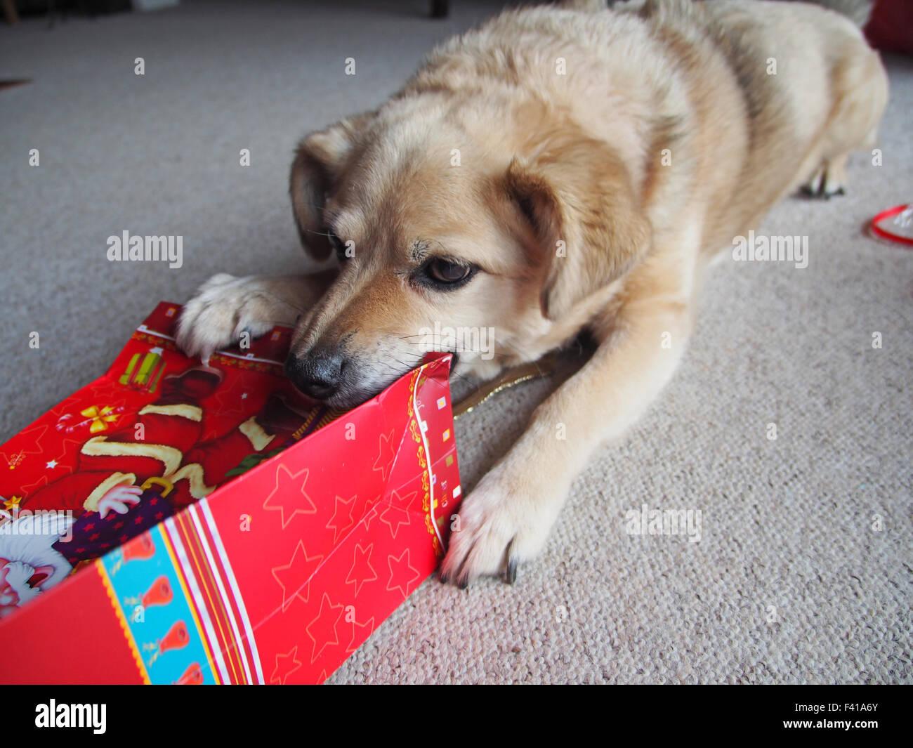 dog with a christmas gift - Stock Image