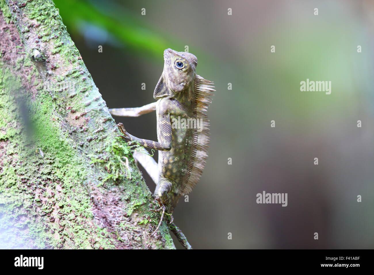 Bornean Angle-headed Lizard (Gonocephalus bornensis) in Borneo - Stock Image