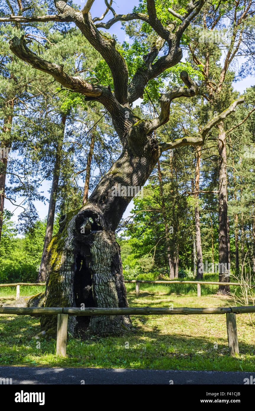 Bosdorf Oak, Baruther Glashuette, Brandenburg - Stock Image