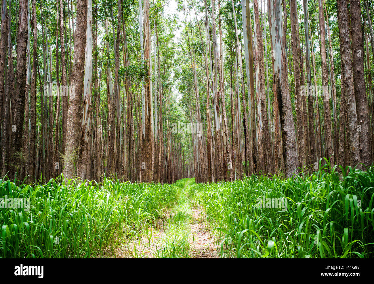 Eucalyptus Wood Stock Photos & Eucalyptus Wood Stock