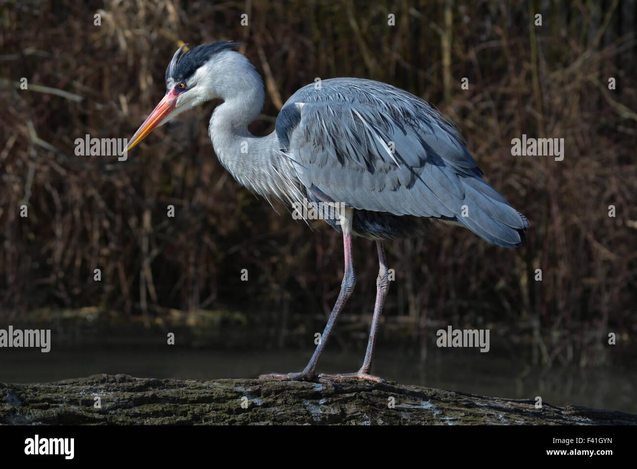 grey heron motionless - Stock Image