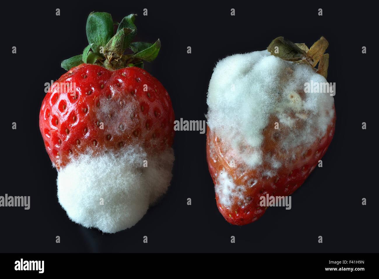 Fungus Botrytis cinerea - Stock Image
