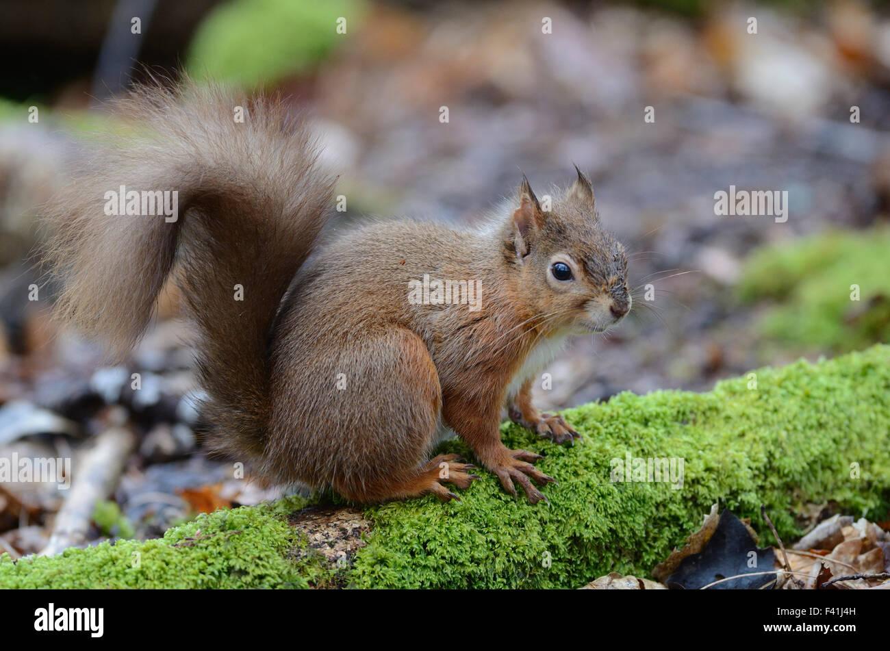 Adult red squirrel, alert posture. Brownsea Island, Dorset, UK February 2014 - Stock Image