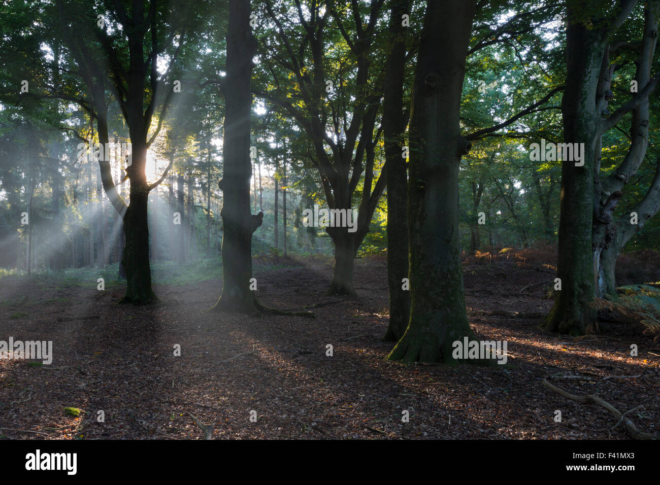 Rays of sunlight in forest, Emsland, Lower Saxony, Germany Stock Photo