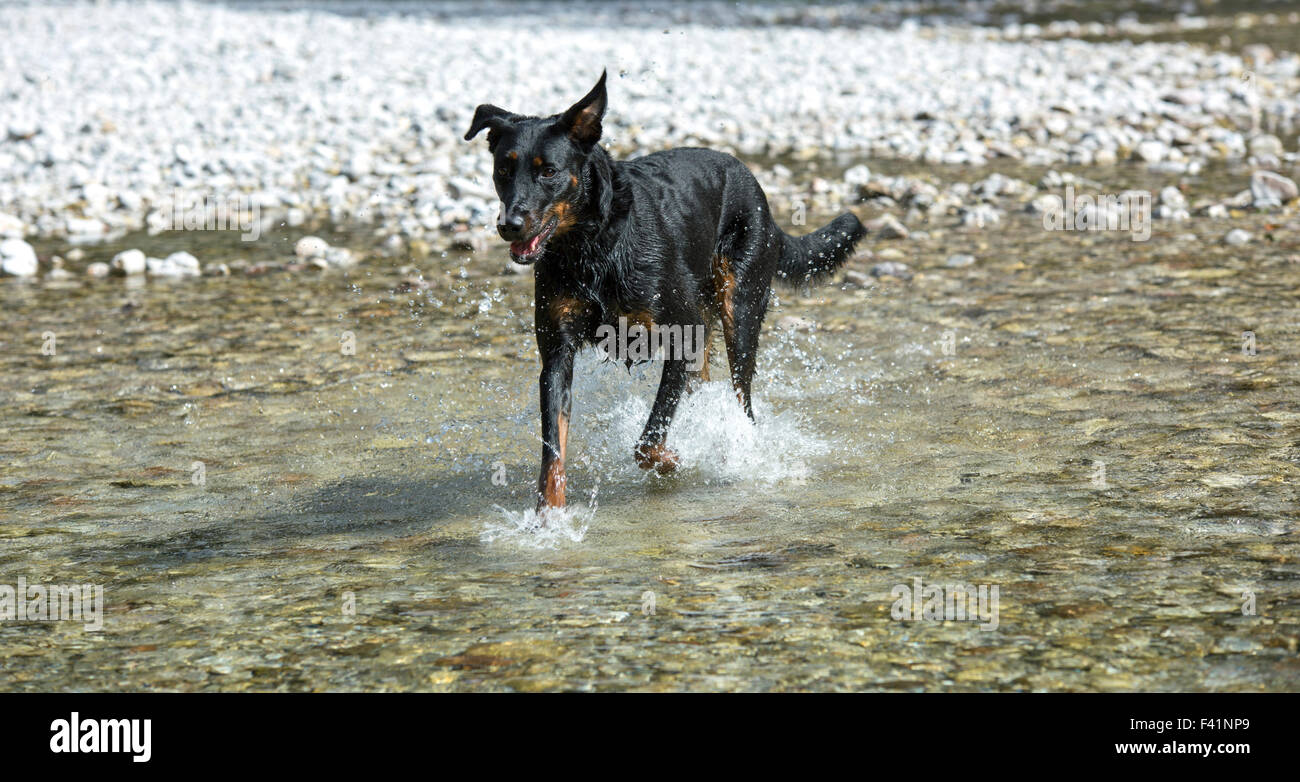 Dog (Canis familiaris) running in water, Beauceron, also Berger de Beauce or Bas Rouge Stock Photo