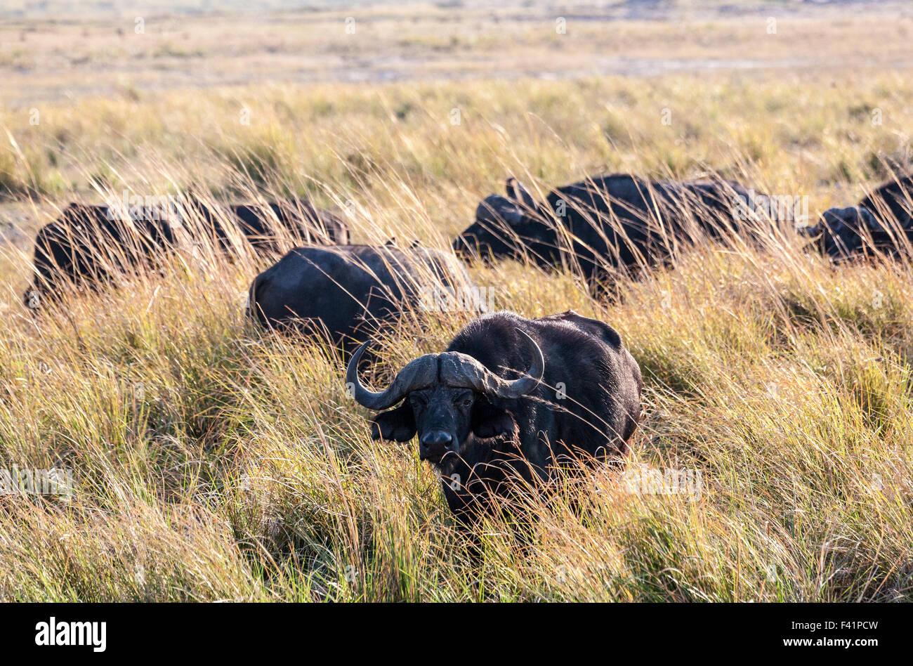 Buffalos - Stock Image