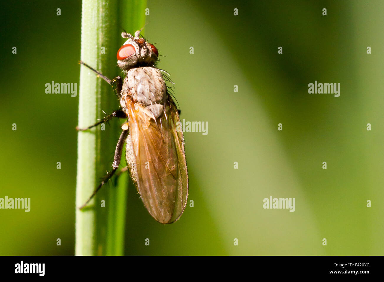 A fly on a blade of grass. - Stock Image