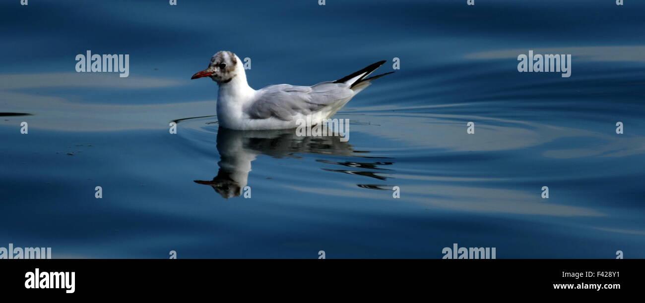 Black headed gull on mirror like water. Chroicocephalus ridibundus winter plumage Stock Photo