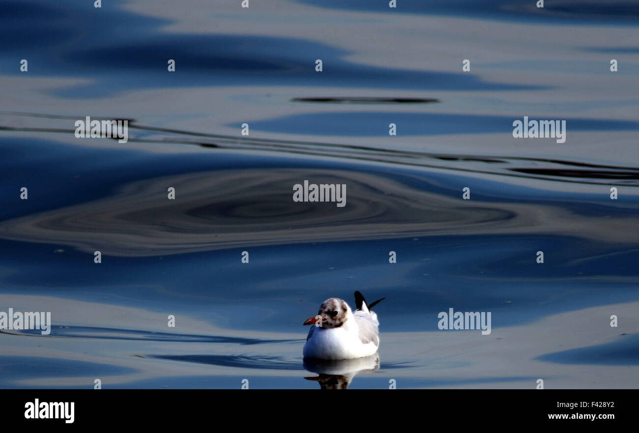 Black headed gull on mirror like water. Chroicocephalus ridibundus winter plumage Stock Photo