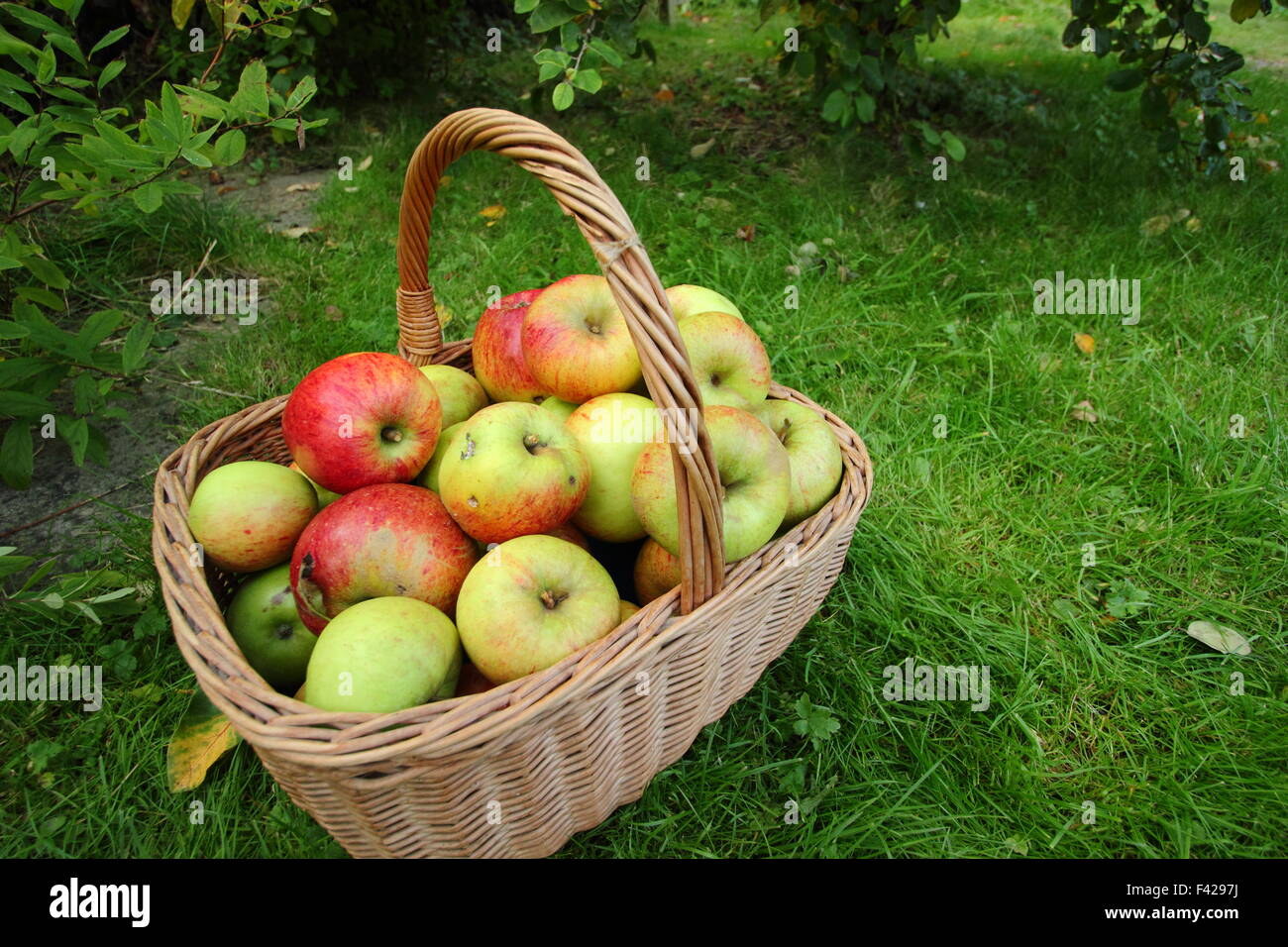 A basket of freshly picked, locally grown English apples at an Apple Day festival in Sheffield, England UK - October - Stock Image