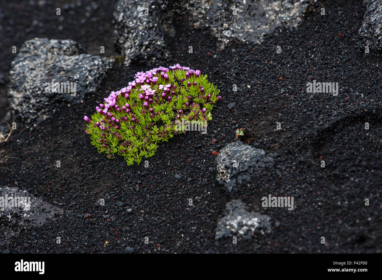 Flower in lava field, Iceland - Stock Image