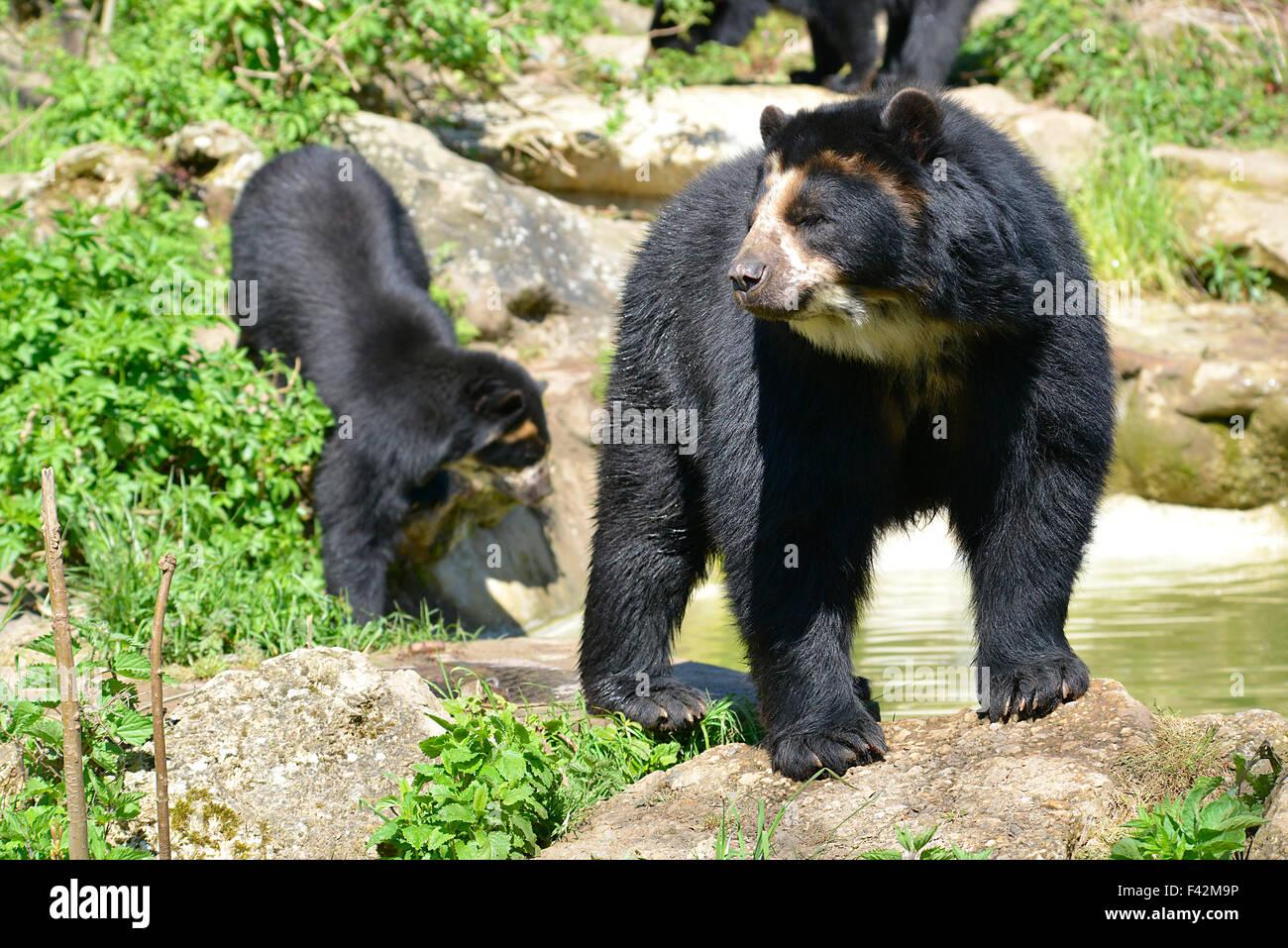 Andean bears Stock Photo