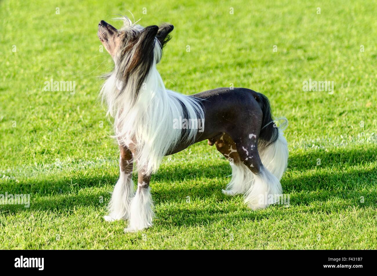A small black and white hairless Chinese Crested dog standing on the lawn looking very elegant. The hairless breed - Stock Image