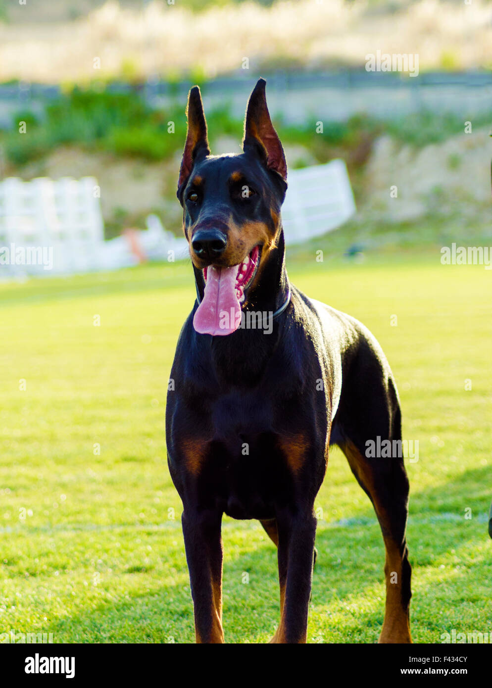 A young, beautiful, black and tan Doberman Pinscher standing on the lawn while sticking its tongue out and looking - Stock Image