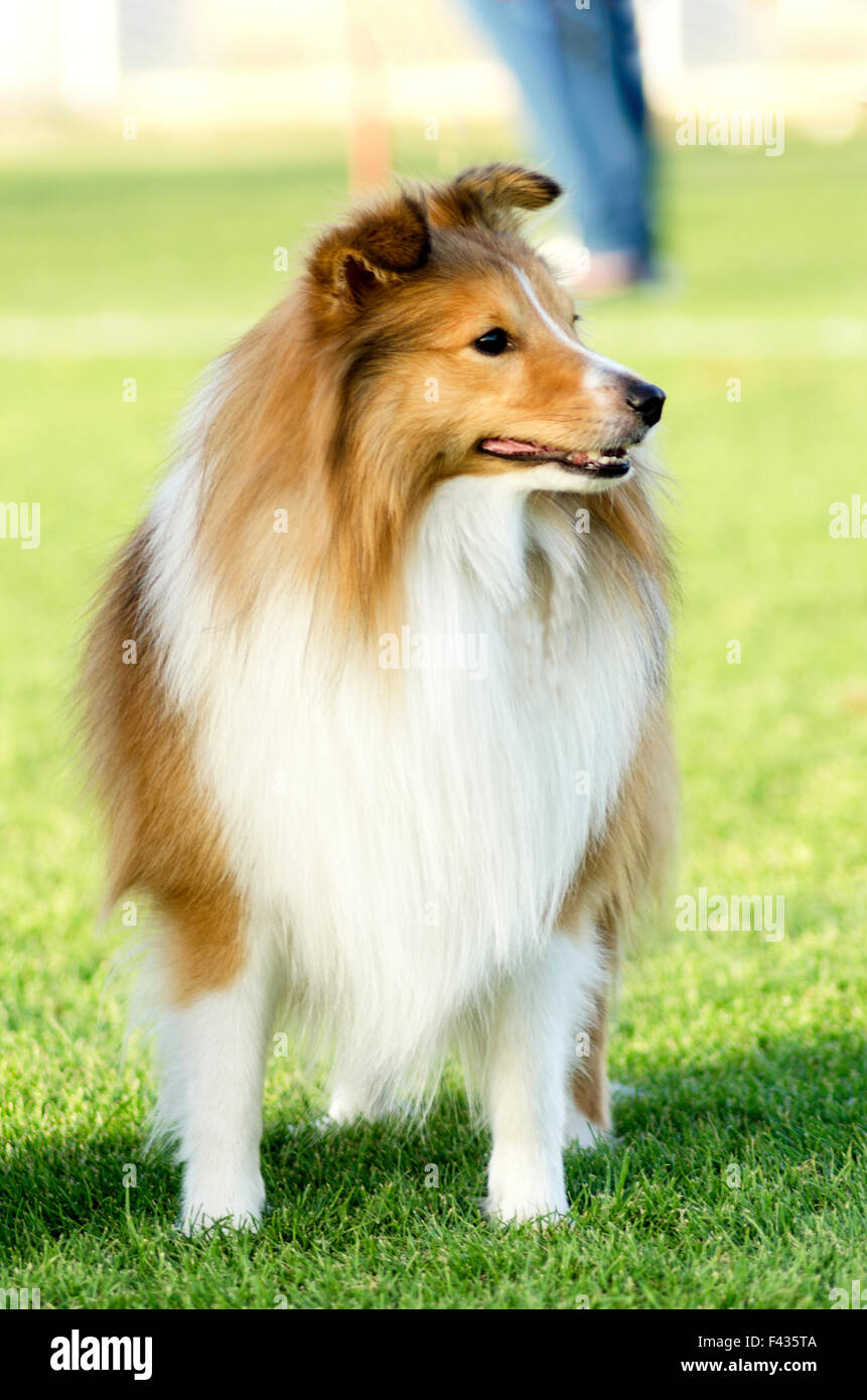 A young, beautiful, white and sable Shetland Sheepdog standing on the lawn looking happy and playful. Shetland Sheepdogs Stock Photo