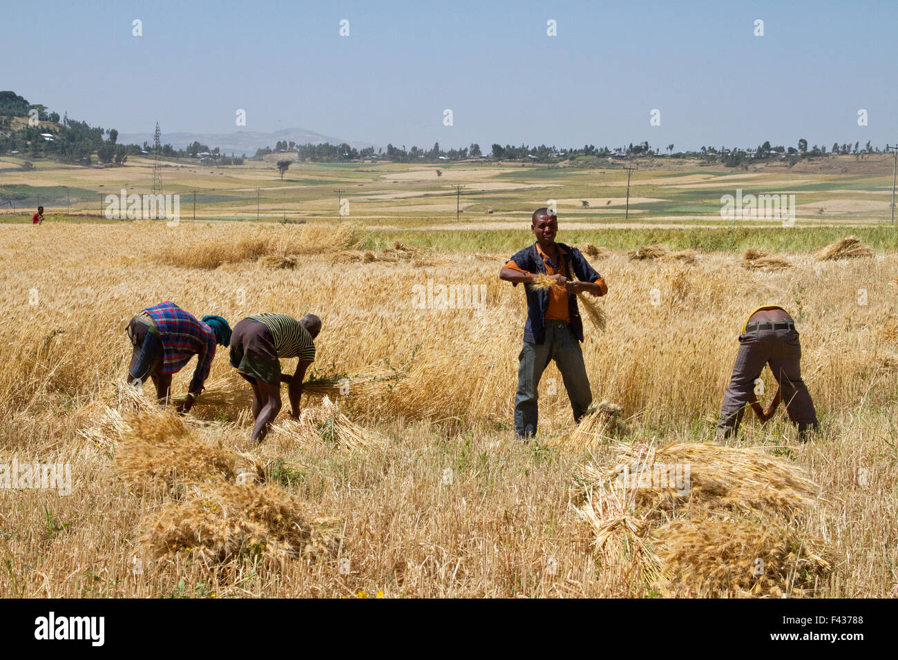 Men harvesting wheat with a sickle. Photographed in Ethiopia - Stock Image