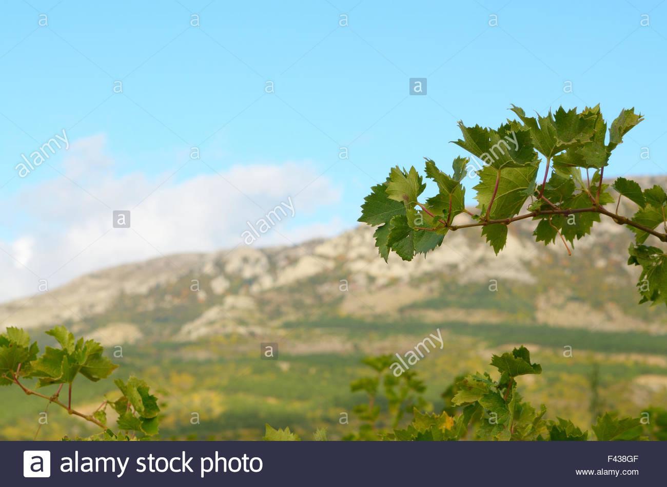 Grape twig - Stock Image