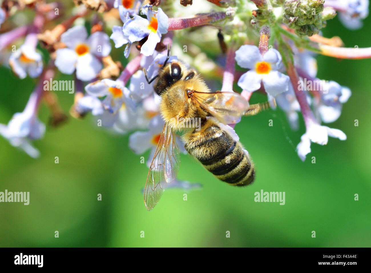 A bee feeds on a garden plant - Stock Image