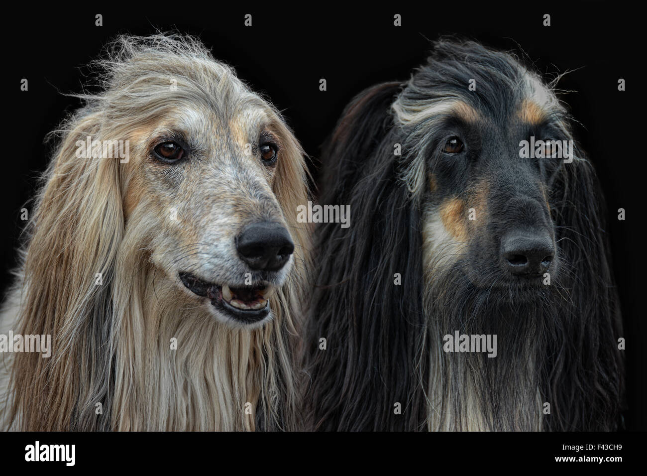 pair of Afghan-Dogs Stock Photo