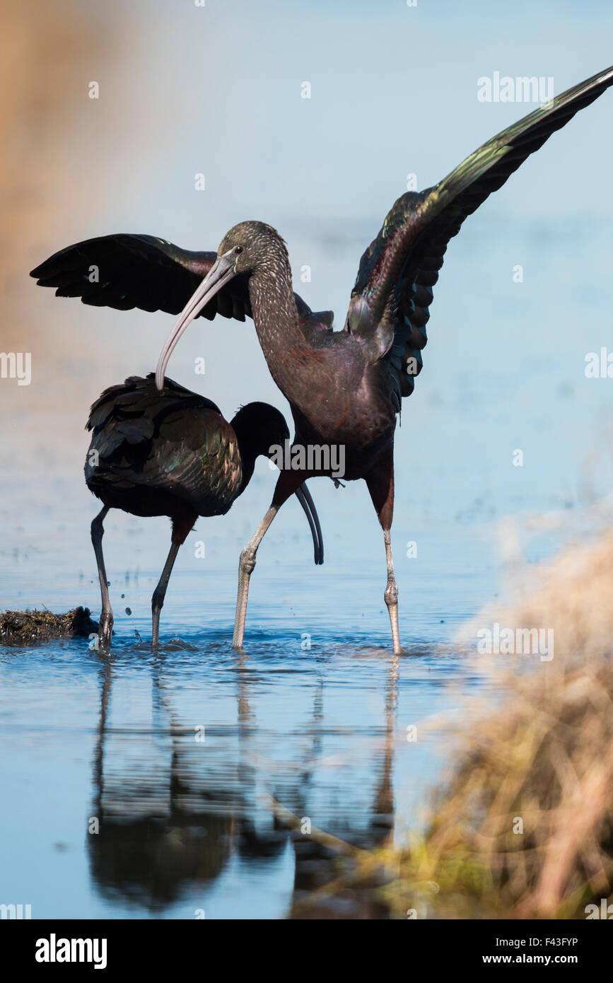 Courting pair of Glossy ibis (Plegadis falcinellus) - Stock Image