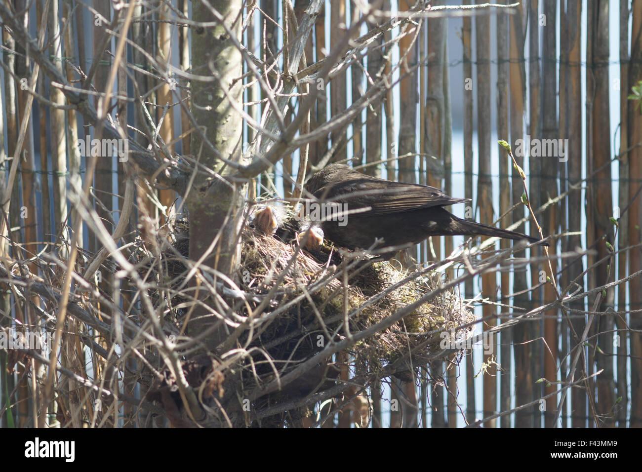 Blackbird - Stock Image