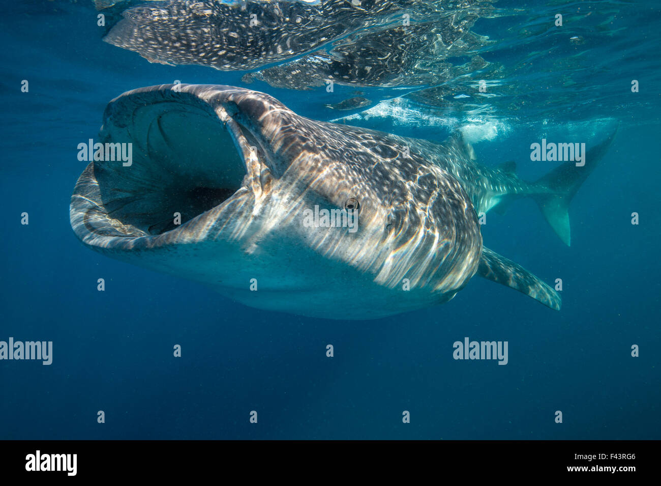 Whale shark (Rhincodon typus) mouth open filter feeding at the surface, Quintana Roo, Yucatan Peninsular, Mexico, - Stock Image