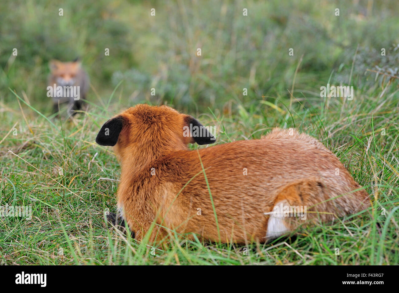 Red fox (Vulpes vulpes) in defensive posture with ears flat,  watching rival approaching, the Netherlands, October - Stock Image