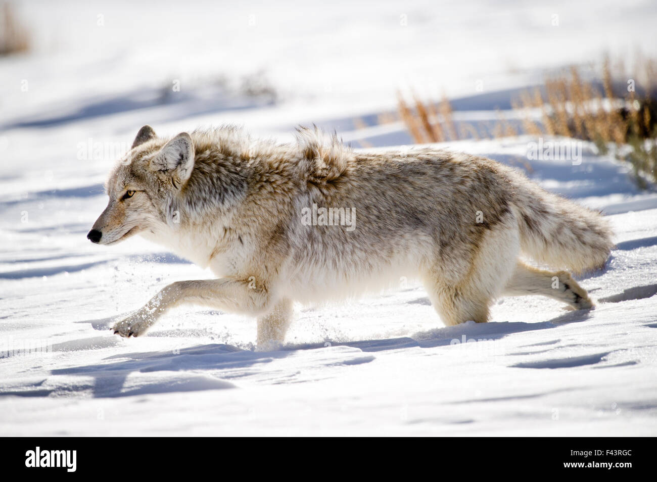 Male Coyote (Canis latrans) walking through deep snow. Hayden Valley, Yellowstone National Park, Wyoming, USA, February. - Stock Image