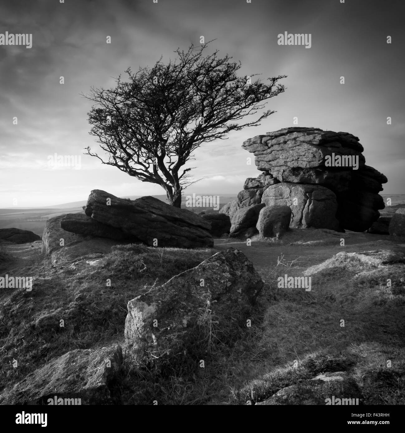 Monochrome image of a Hawthorn tree (Crataegus monogyna) and granite outcrop near Saddle Tor, Dartmoor National - Stock Image