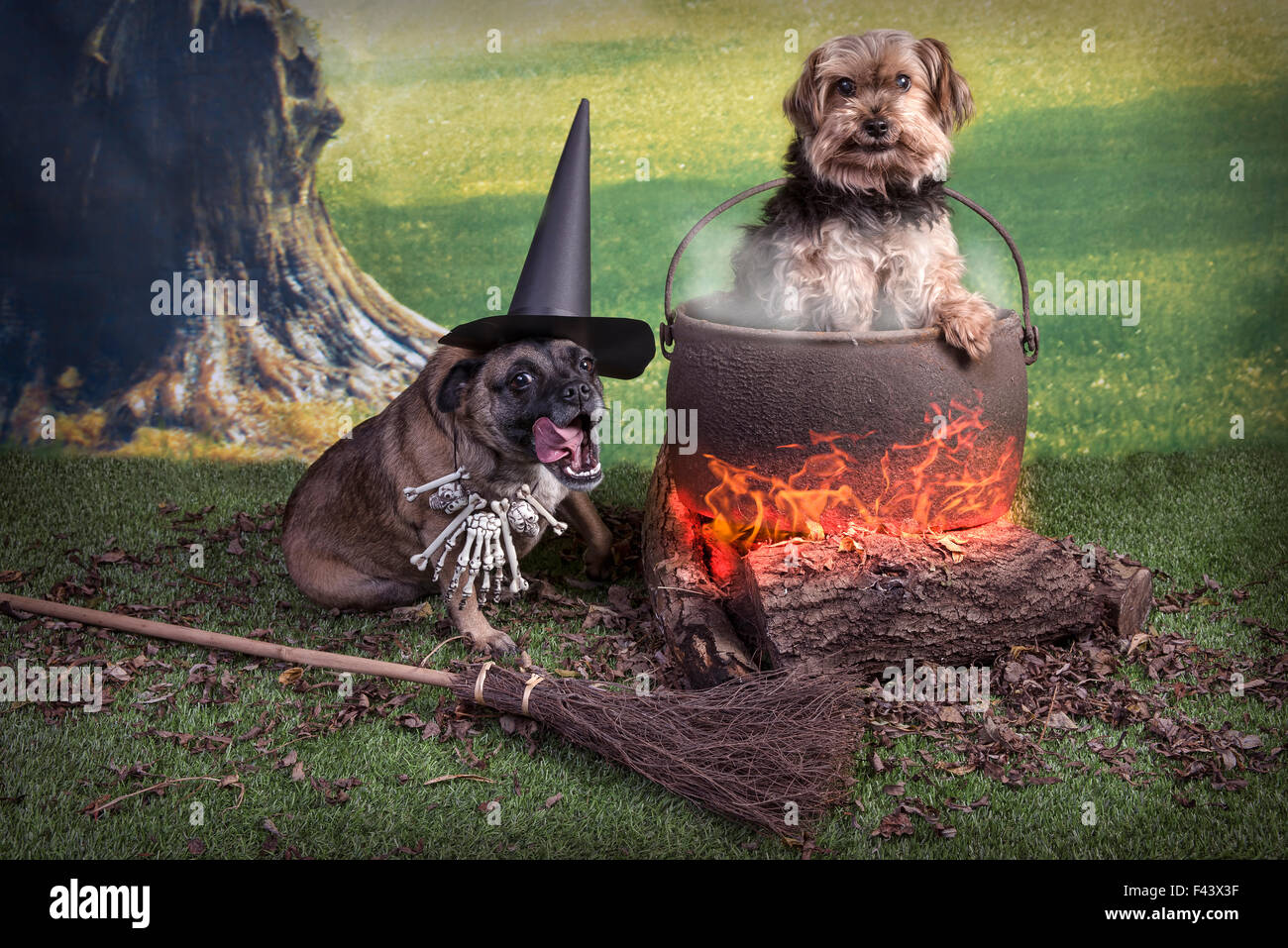 Comical Halloween image of two dogs, one as a witch and one in the cooking pot  filter added to make image softer - Stock Image