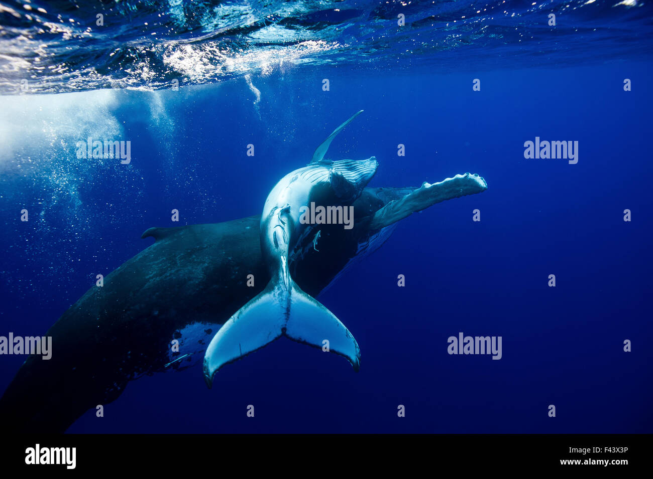 Humpback Whale (Megaptera novaeangliae) mother and calf. Tonga, South Pacific, September. - Stock Image