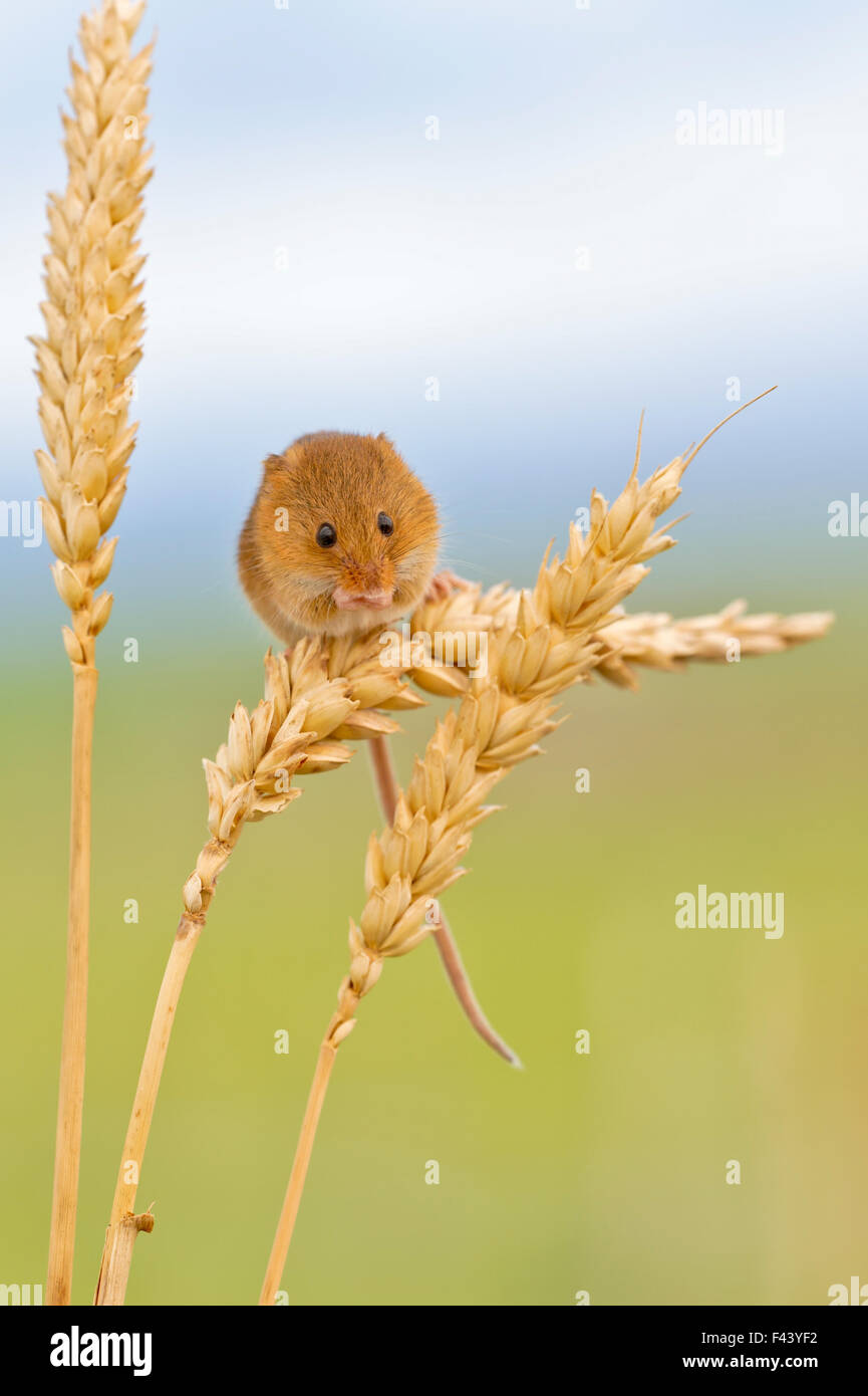 Harvest mouse (Micromys minutus) on wheat stem, Devon, UK captive - Stock Image