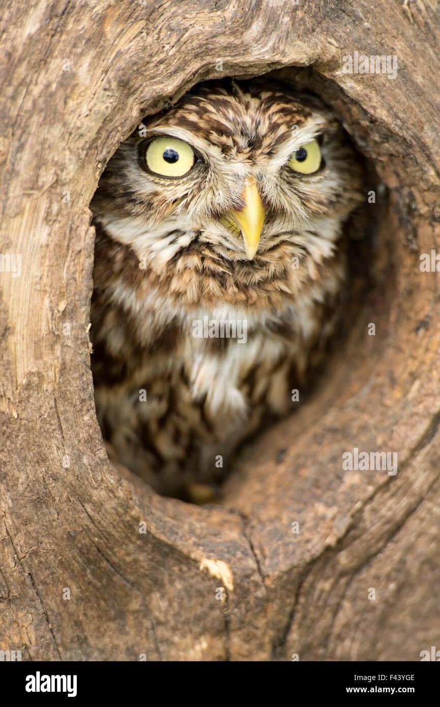 Little owl (Athene noctua) peering out of hole in tree, Devon, UK captive - Stock Image