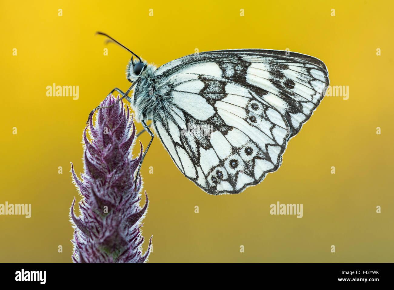 Marbled White butterfly (Melanargia galathea) at rest, Dunsdon Nature Reserve, Devon, UK. July. Stock Photo