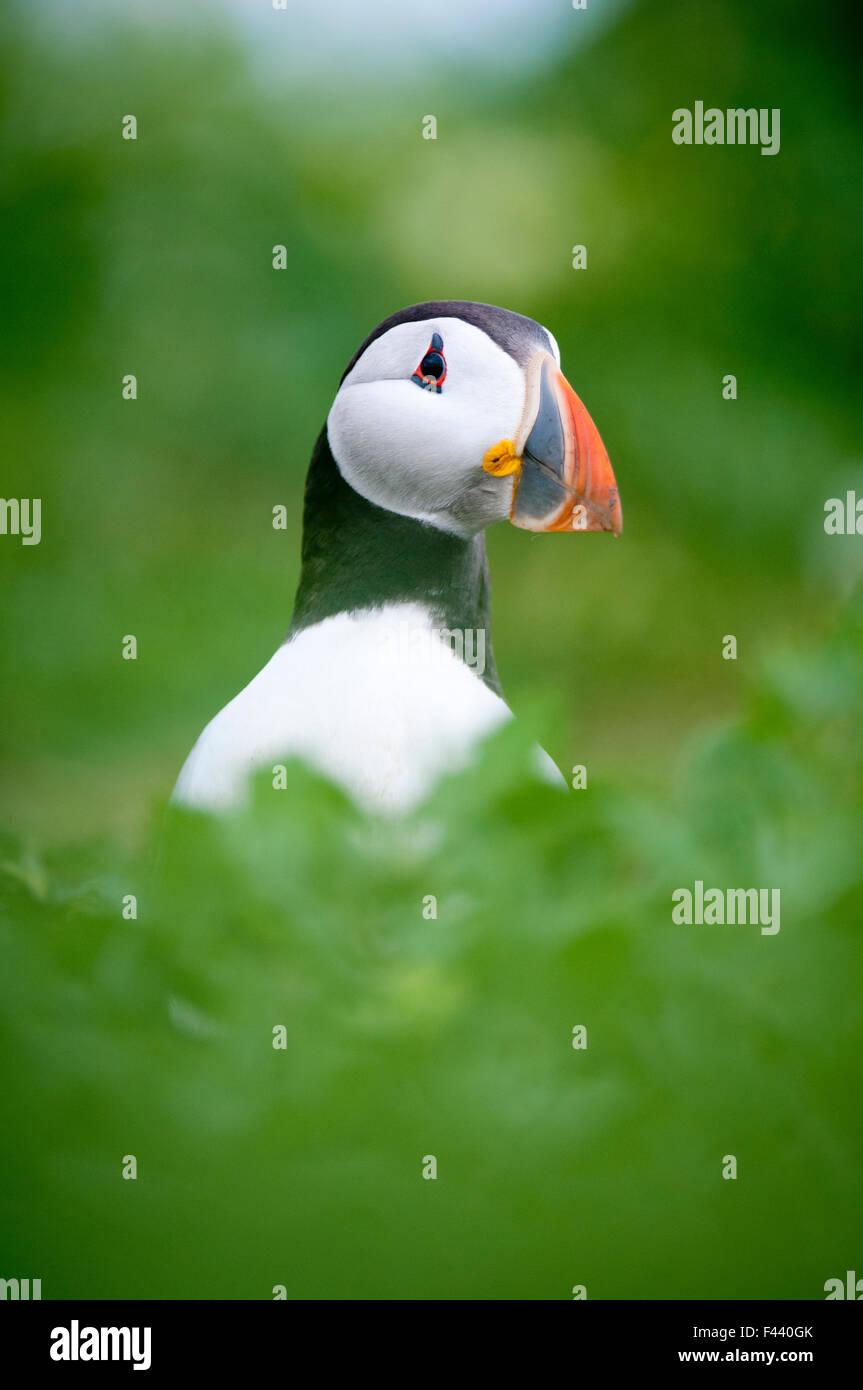 Atlantic puffin (Fratercula arctica), Inner Farne islands, Northumberland, June - Stock Image