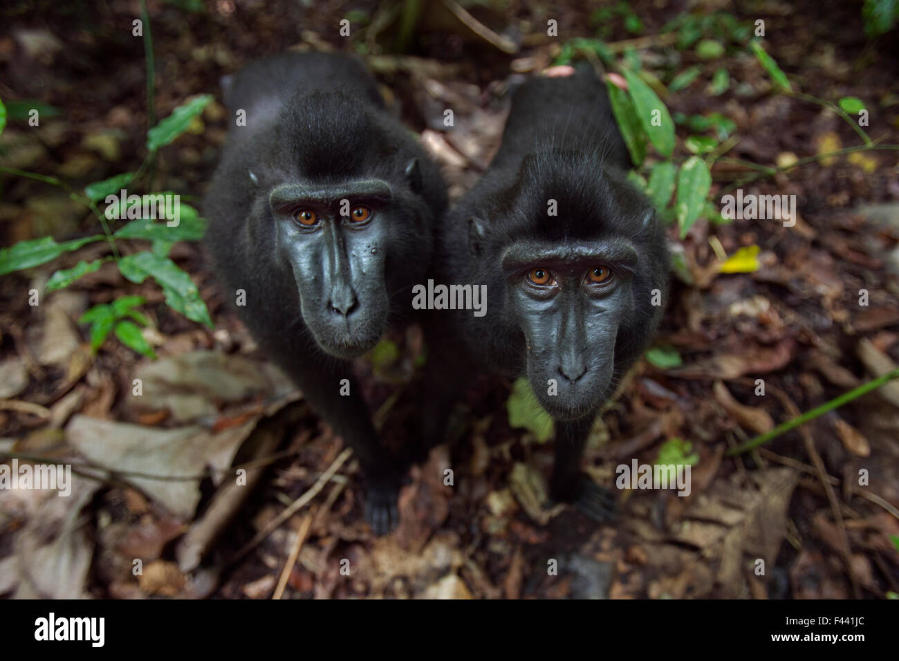Celebes / Black crested macaque (Macaca nigra)  two juveniles approaching with curiosity, Tangkoko National Park, - Stock Image