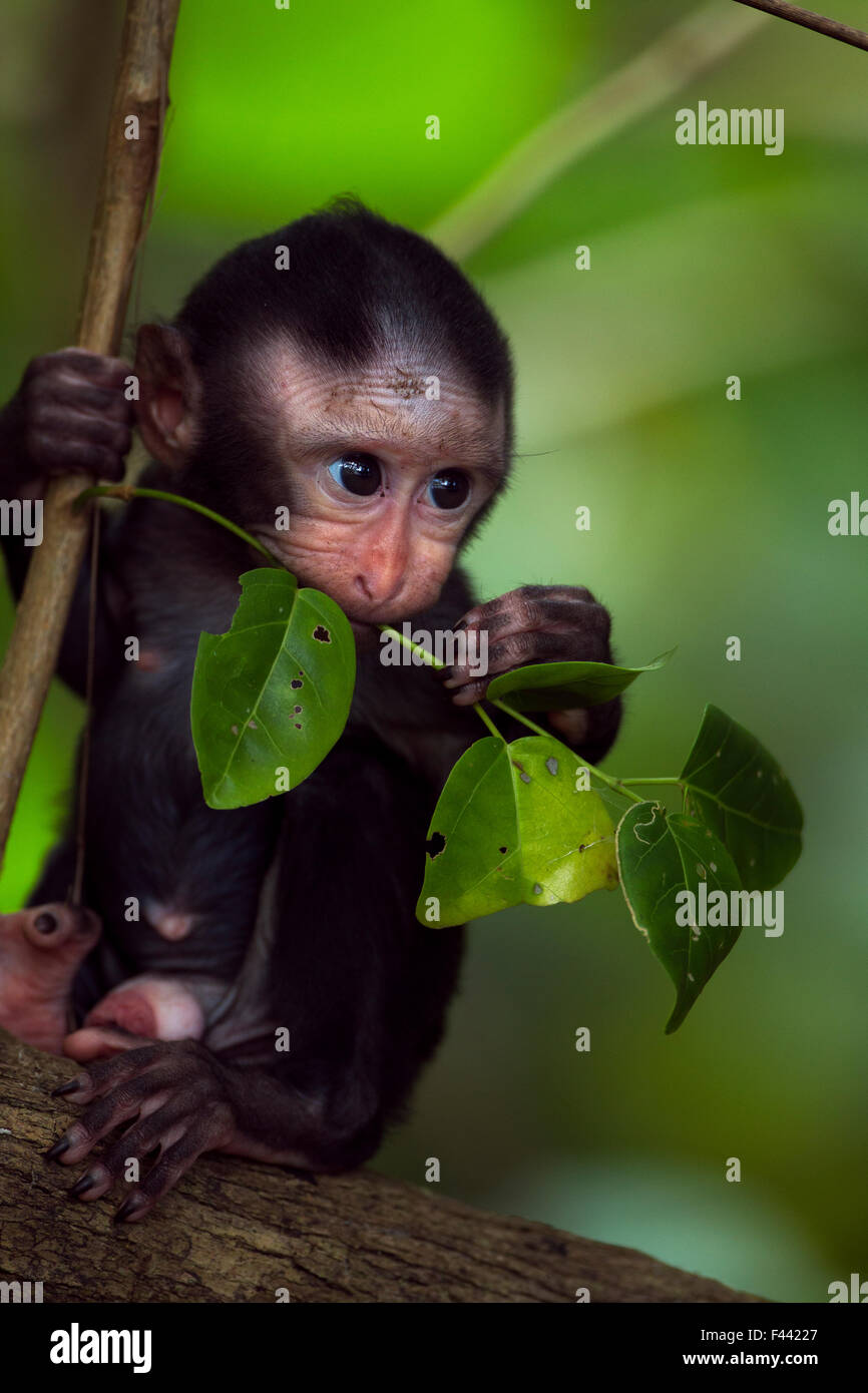 Celebes / Black crested macaque (Macaca nigra)  male baby aged less than 1 month sitting in a tree, Tangkoko National - Stock Image