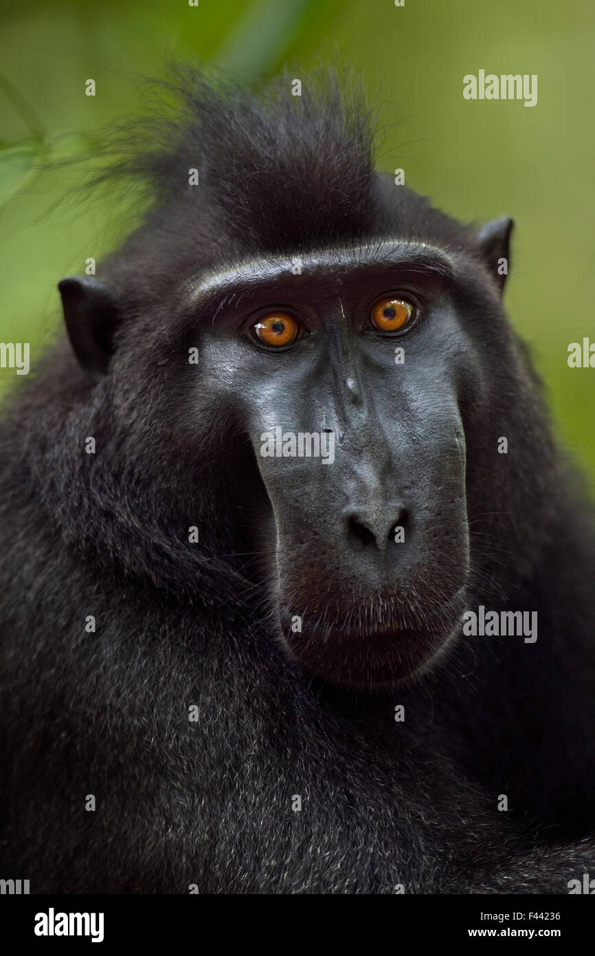 Celebes / Black crested macaque (Macaca nigra)  mature male head and shoulders portrait, Tangkoko National Park, - Stock Image
