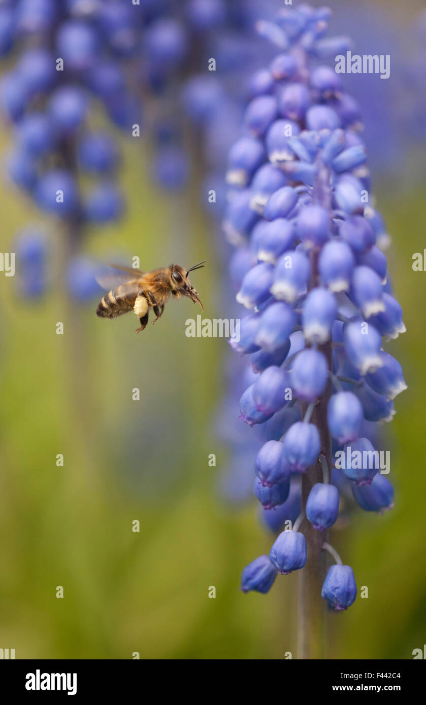 Honey bee (Apis mellifera) visiting Grape hyacinth, Sheffield, UK - Stock Image