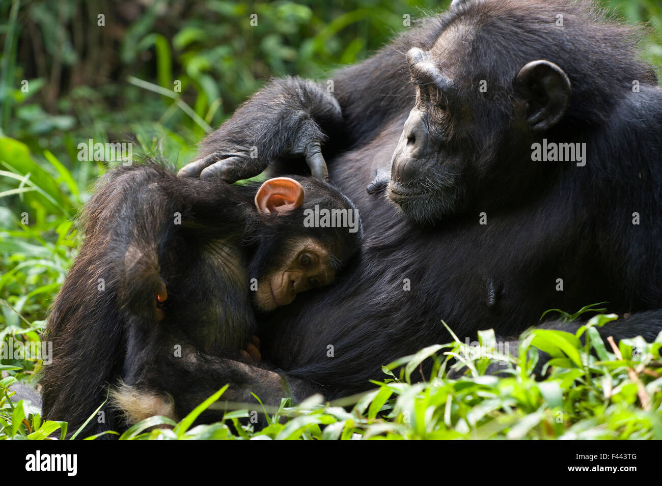 Chimpanzee (Pan troglodytes) mother and 4 month infant resting in tropical forest, Western Uganda - Stock Image