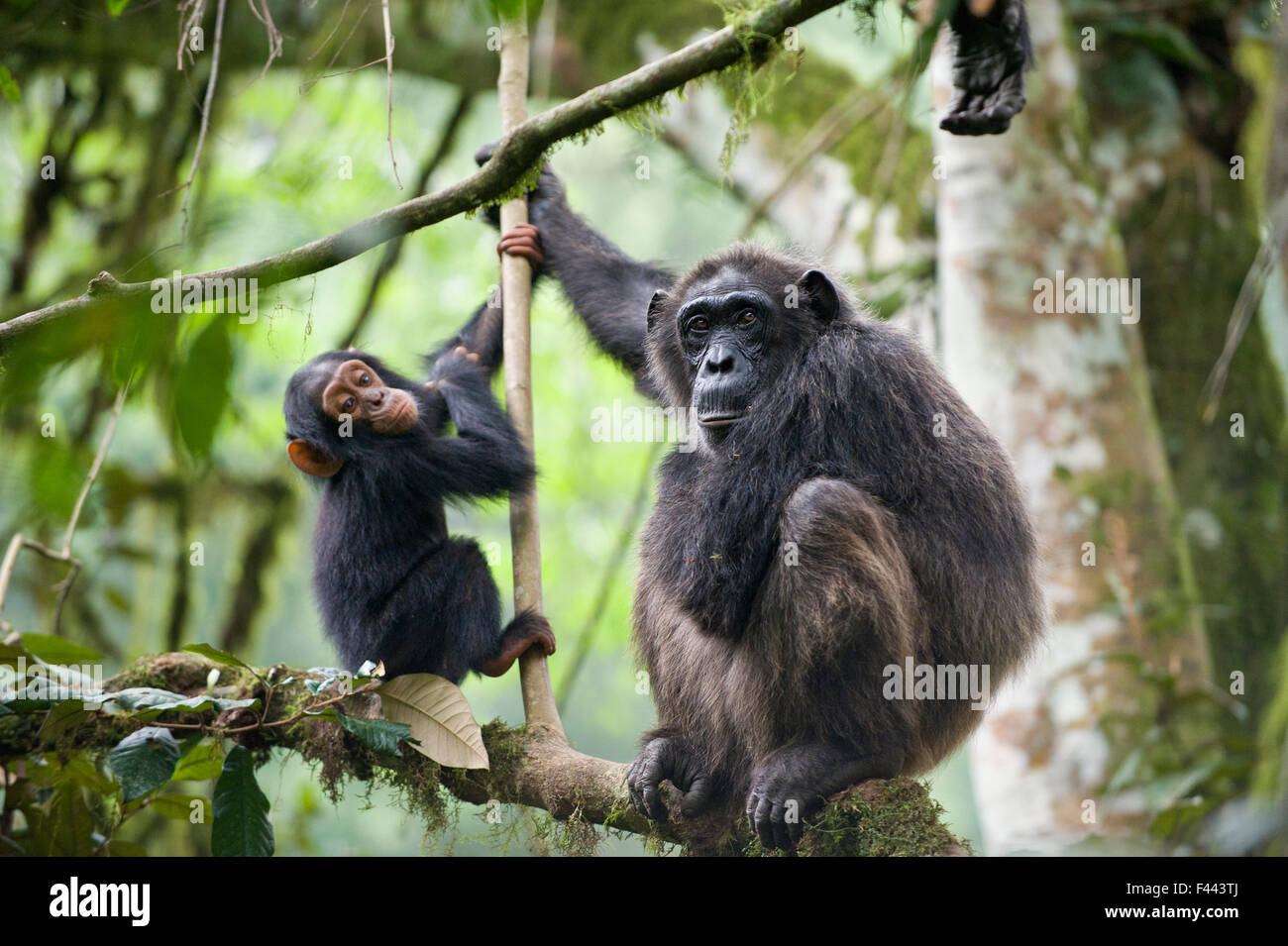 Chimpanzee (Pan troglodytes) mother and baby age two and a half, tropical forest, Western Uganda - Stock Image
