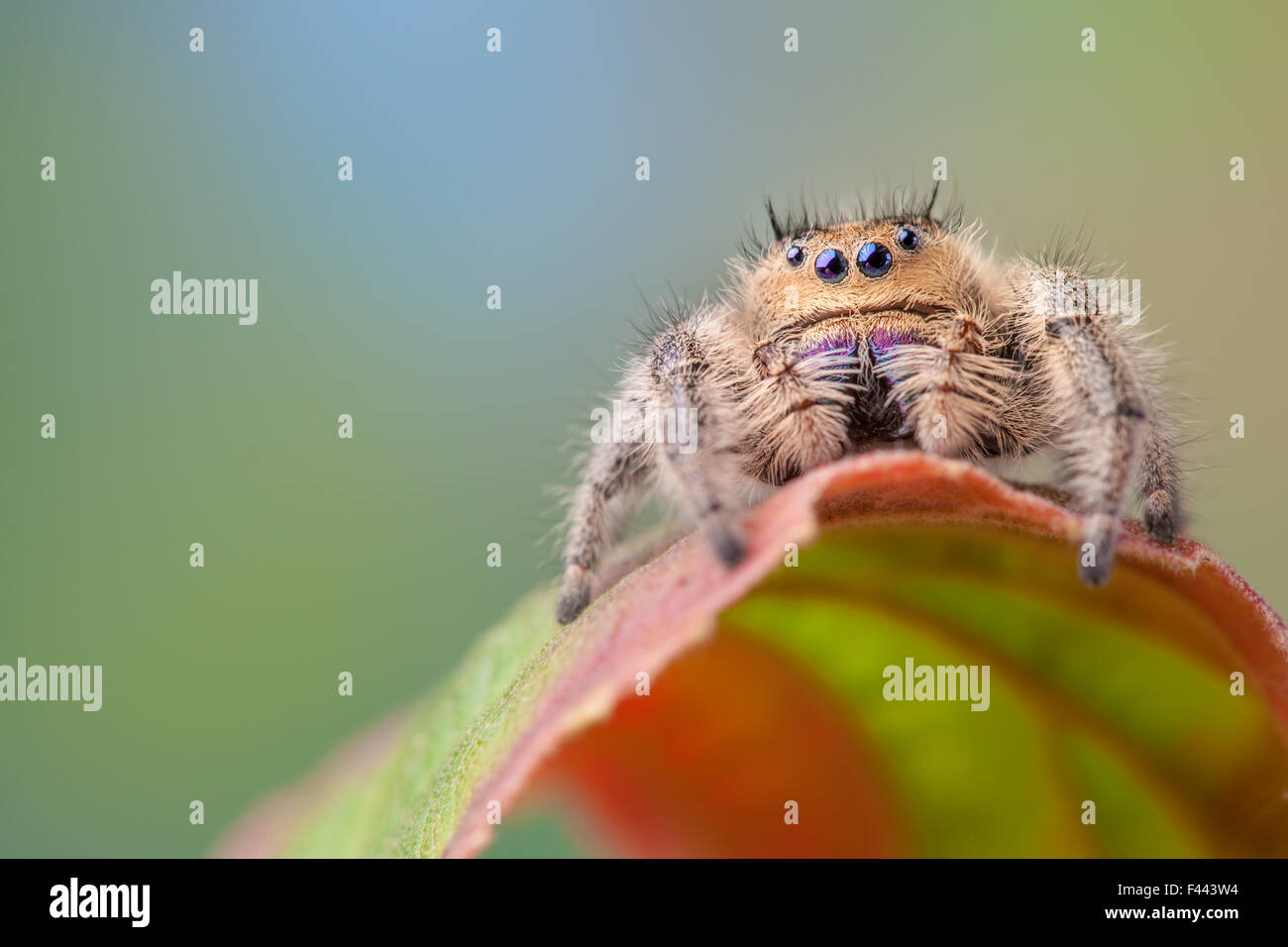 Regal Jumping Spider (Phidippus regius) female. Captive, endemic to North America. - Stock Image