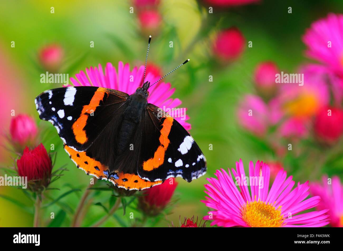 Red Admiral Butterfly (Vanessa atalanta) on Michaelmas daisy flowers. Dorset, UK, October 2012. - Stock Image