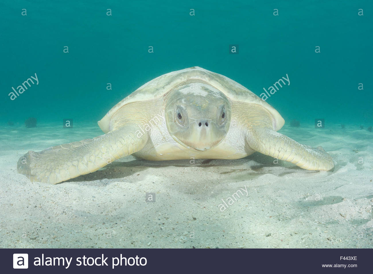 Australian flatback sea turtle, (Natator depressus),  covered with sand it has flipped over itself for camouflage - Stock Image