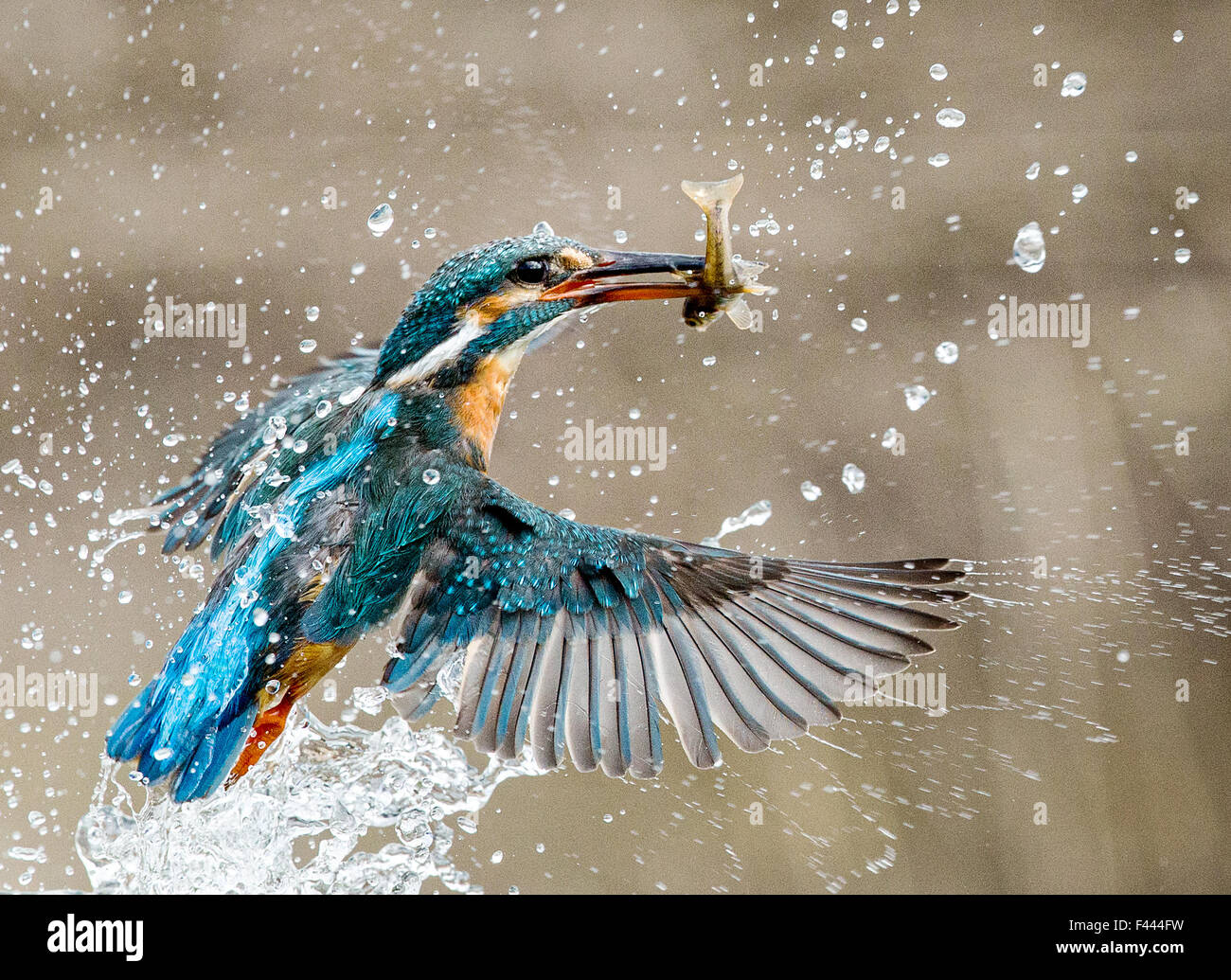 Kingfisher dive with catch - Stock Image
