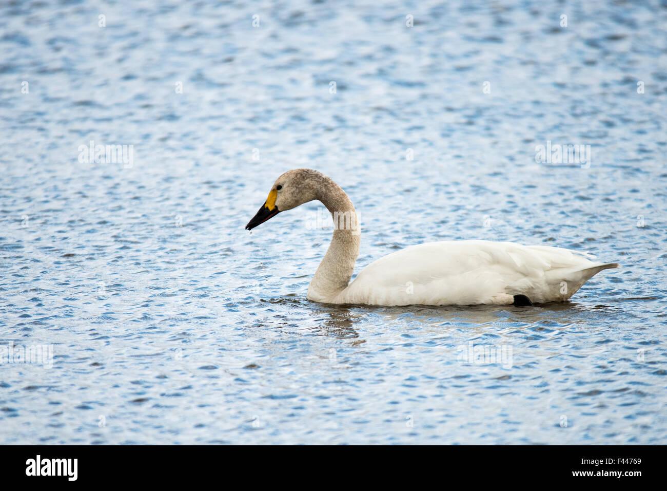 First Bewicks Swan  (Cygnus columbianus) Arrives in Slimbridge 2015 Stock Photo