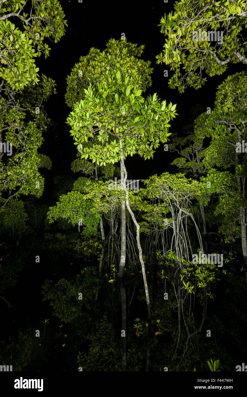 Mangrove forest canopy photographed at night, Raja Ampat, West Papua, Indonesia - Stock Image