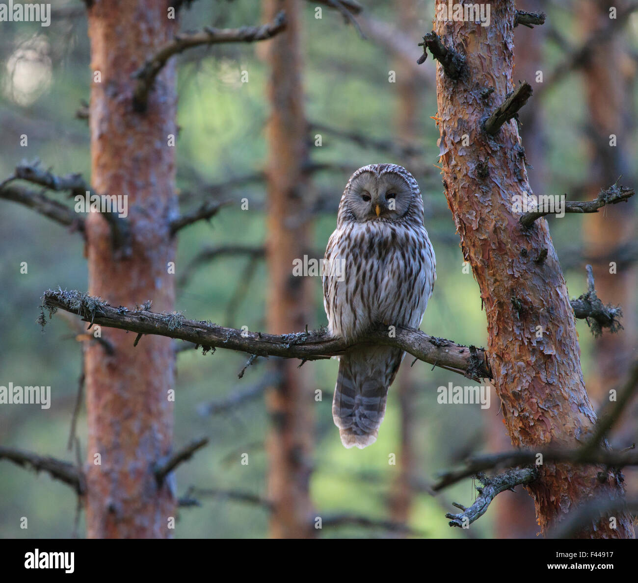 Female Ural Owl (Strix uralensis) perched on pine tree branch. Southern Estonia, May. - Stock Image